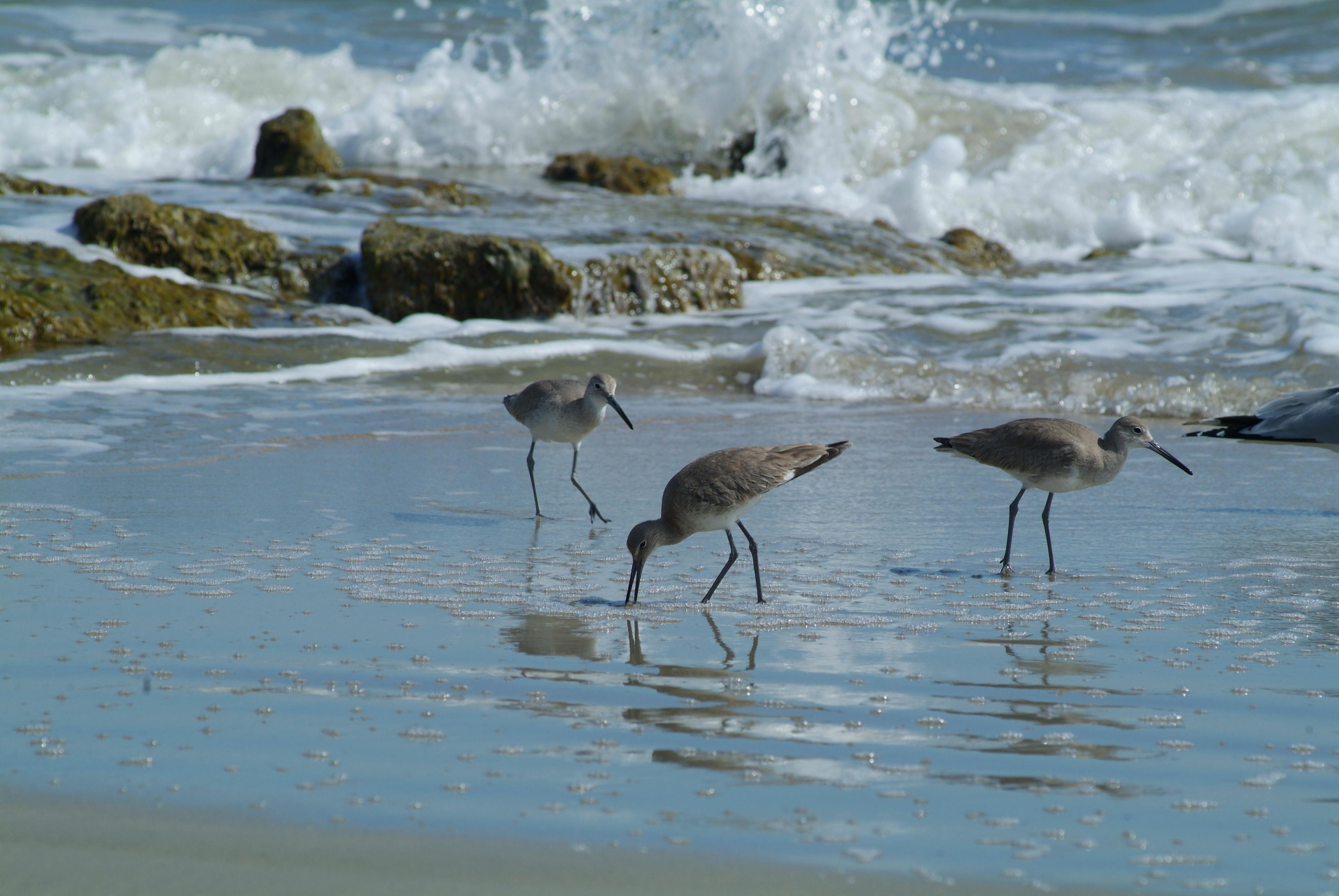 pawleys_island_birds