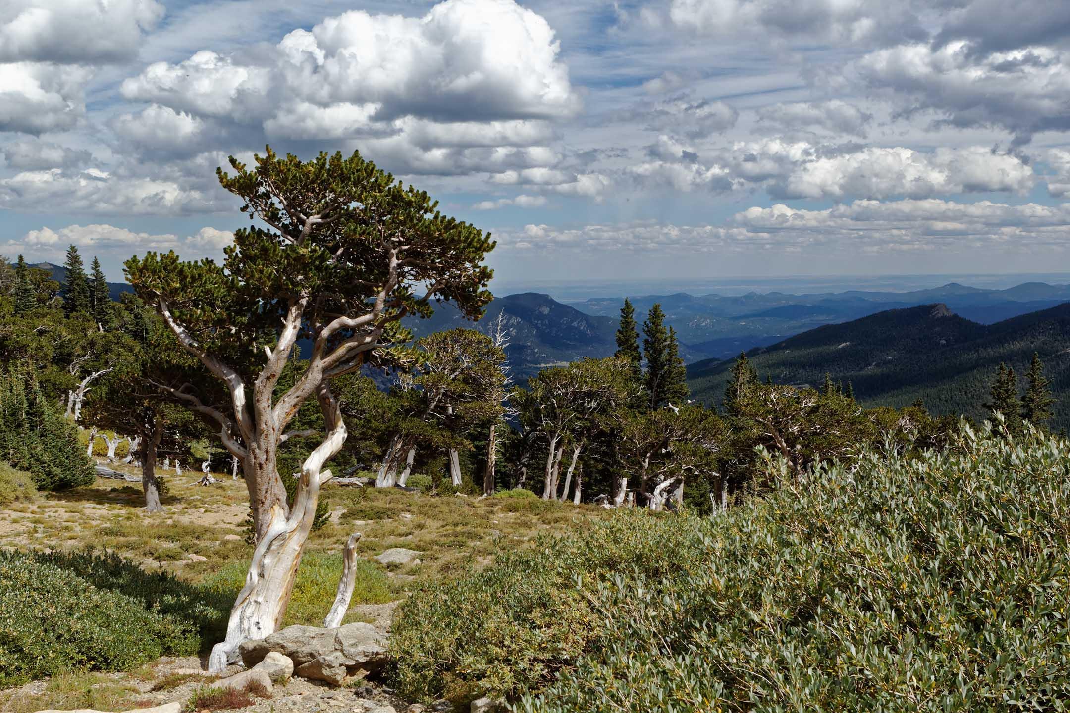 Colorado Bristlecone Pines